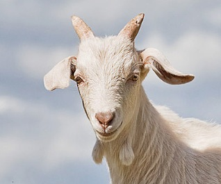Oil and gas lingo - goat head