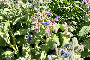 borage and bees