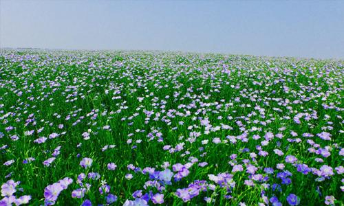 Flax farm North Dakota grower