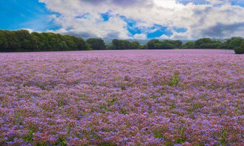 A Crop Of Borage Officinalis,(starflower),Ready,For,Harvest