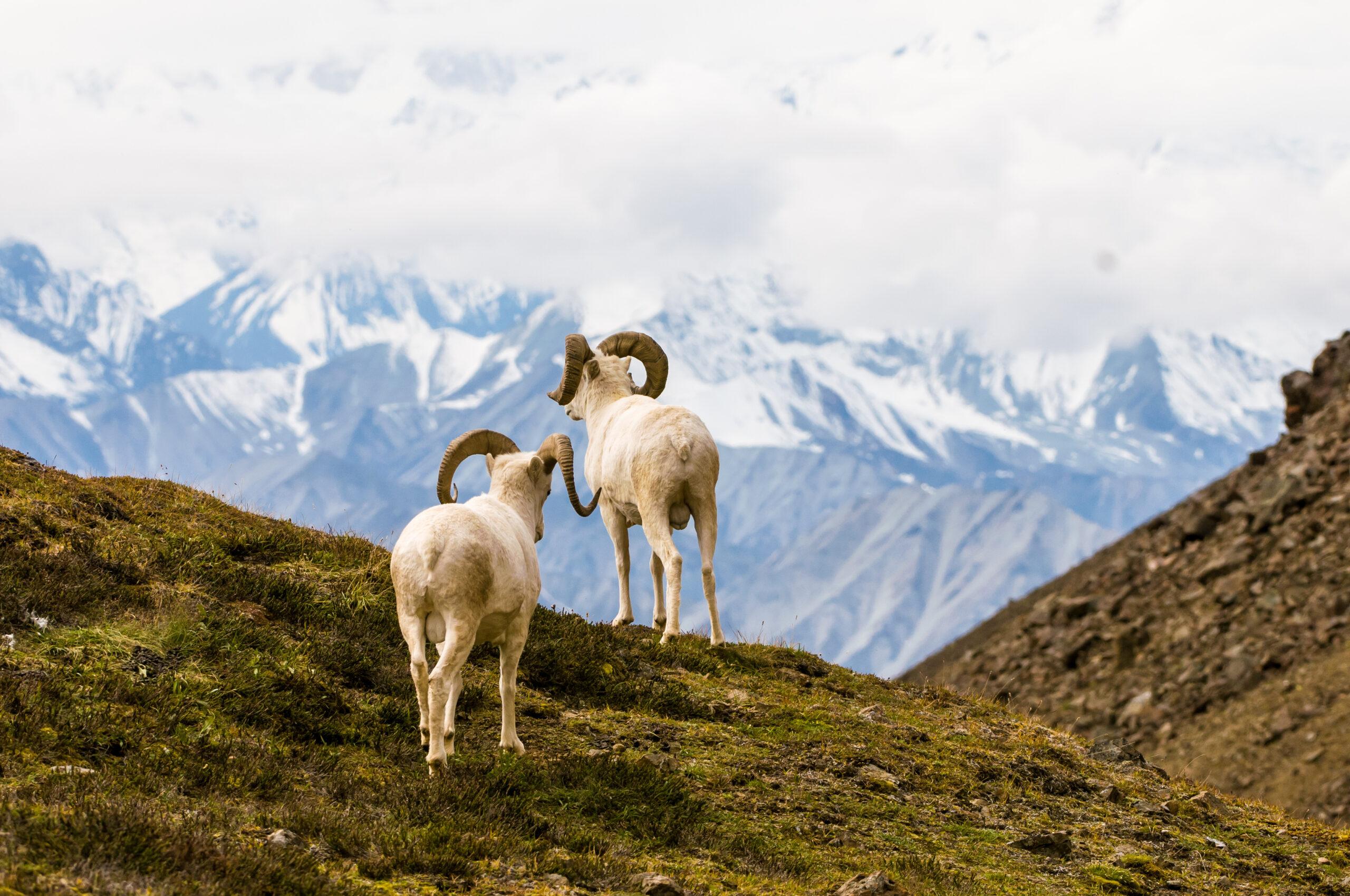 Dall Sheep- Super 10 Hunt