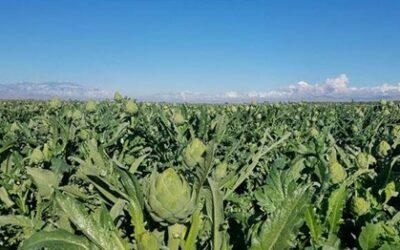 Ocean Mist Farms Kicks Off Coachella Artichoke Season