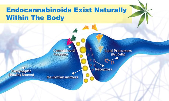 CBD in the body