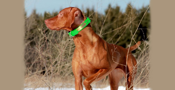 Learn about the Vizsla breed