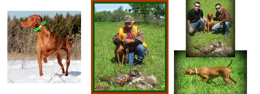 Vizsla breed hunting