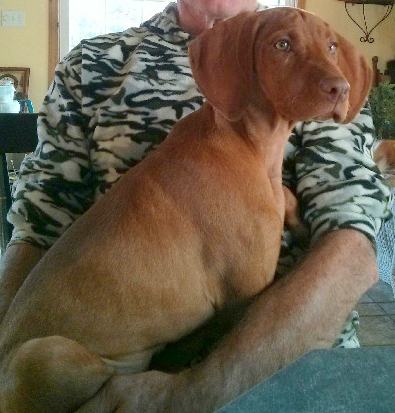 Vizsla breed