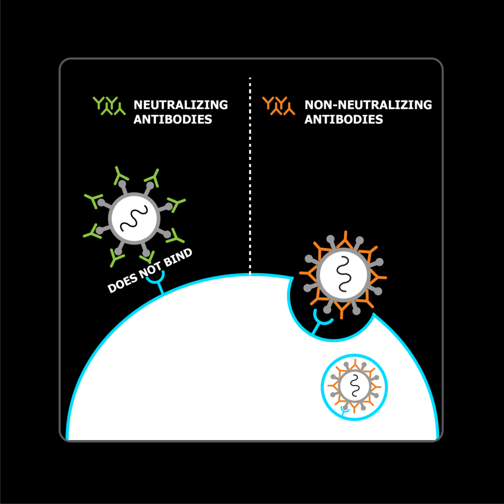 newly produced antibodies recognize the virus, but only neutralizing antibodies block the virus from entering cells, thereby preventing infection