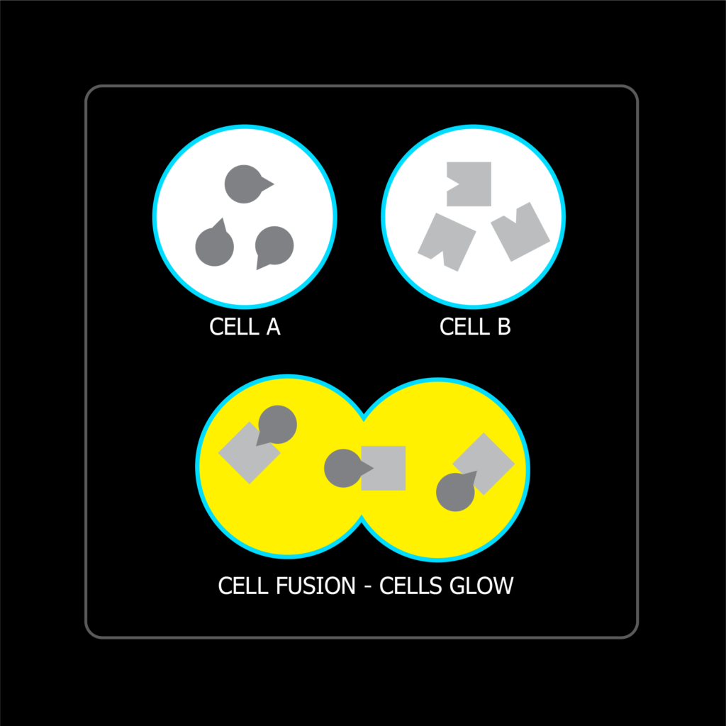 Cells express complementary pieces of a reporter protein. When cells fuse, the complementary pieces come together which causes the cells to glow.