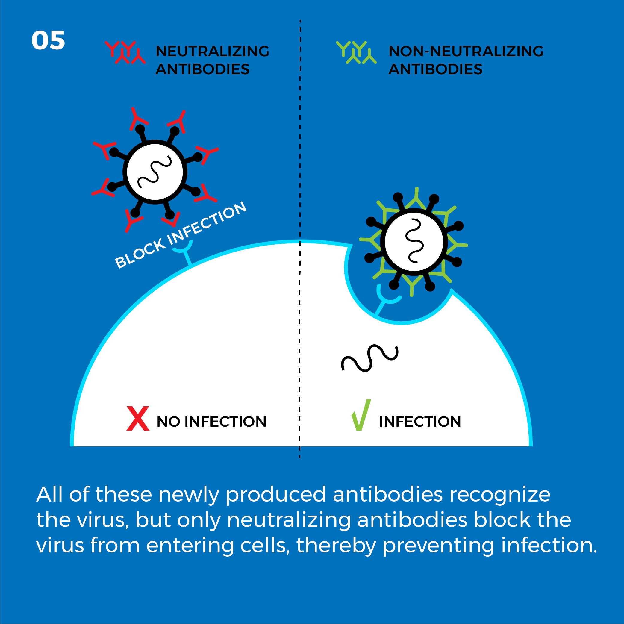 All of these newly produced antibodies recognize the virus, but only neutralizing antibodies block the virus from entering cells, thereby preventing infection.