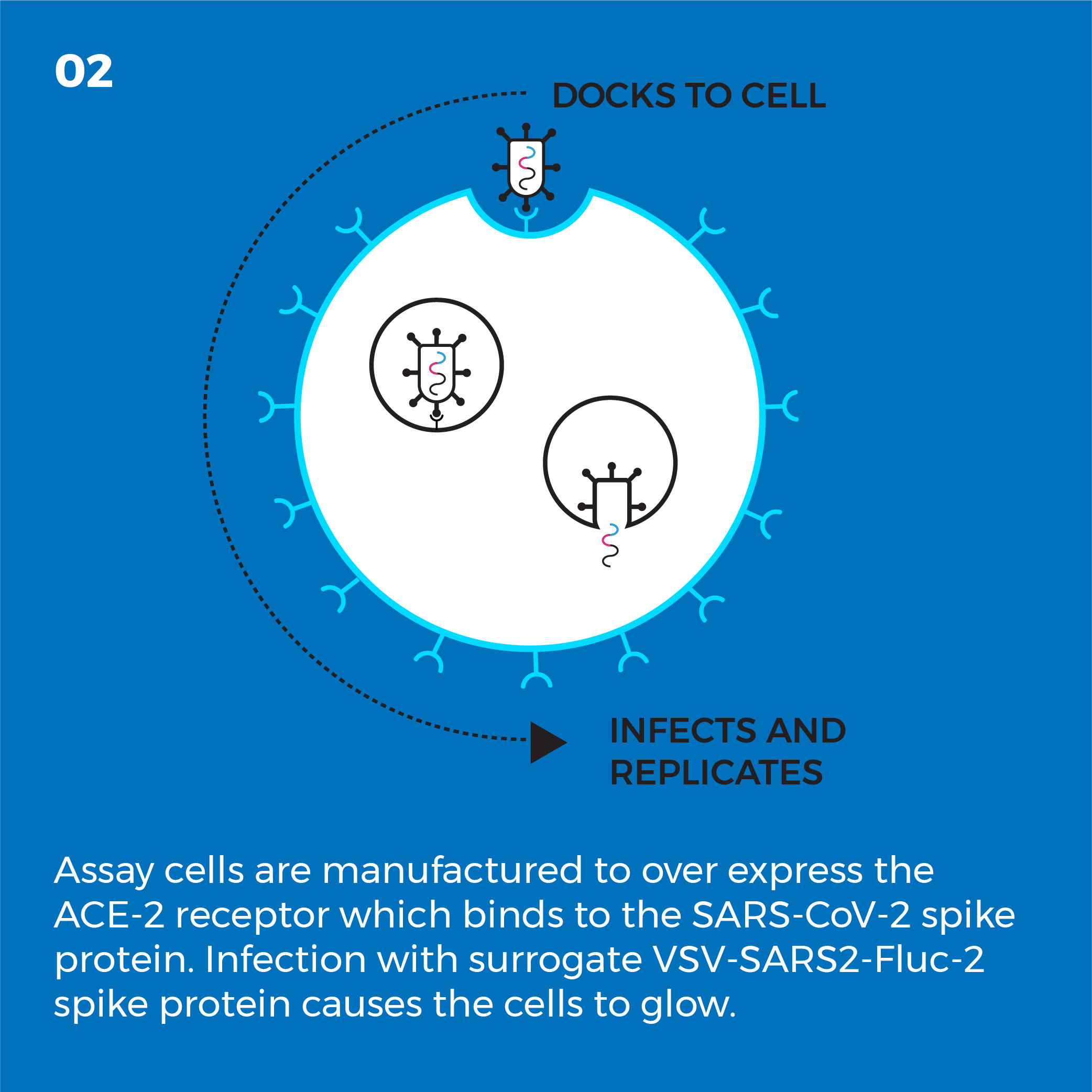 Assay cells are manufactured to over express the ACE-2 receptor which binds the SARS-CoV-2 spike protein. Infection with surrogate VSV-SARS2-Fluc-2 spike protein causes the cells to glow.