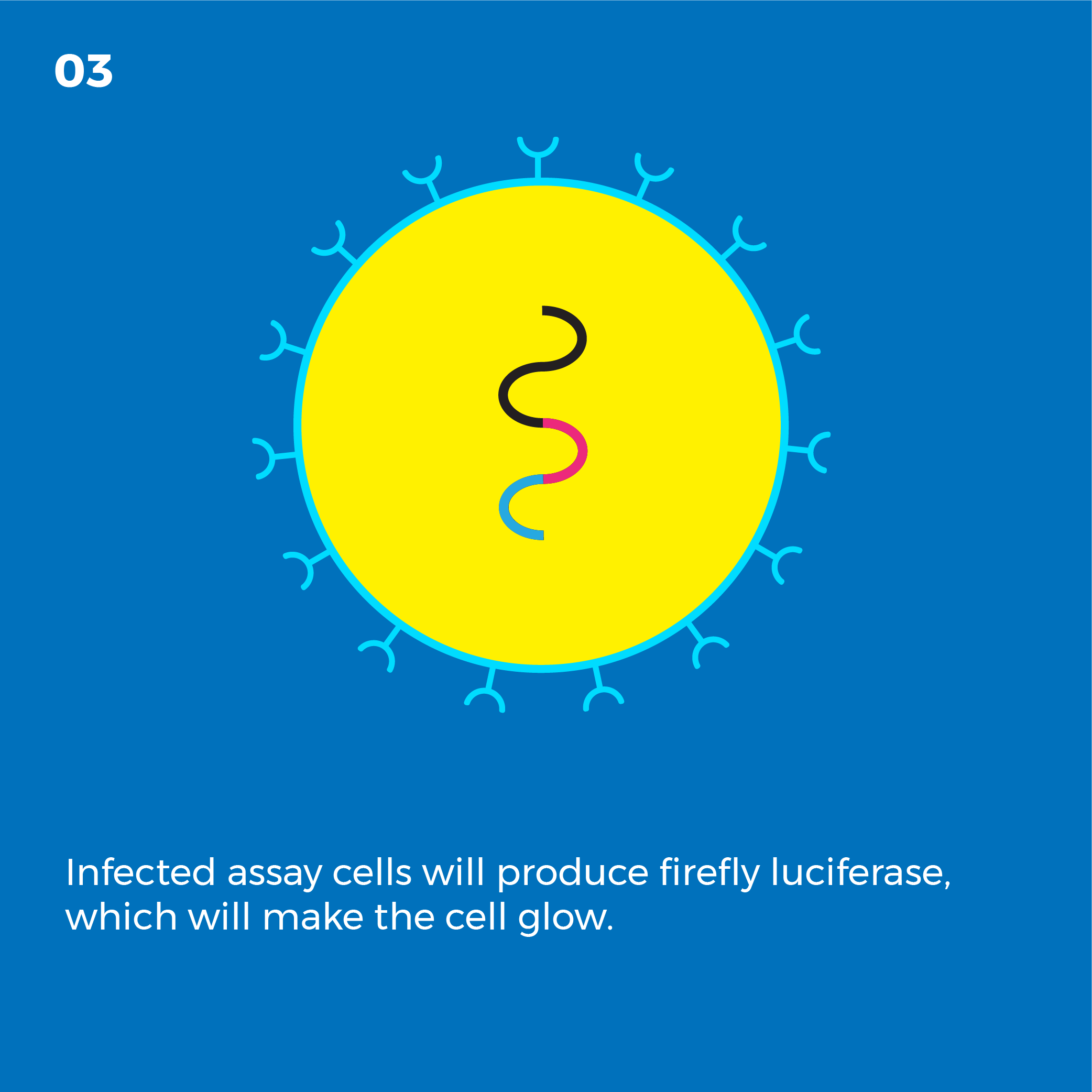 Infected assay cells will produce firefly luciferase, which will make the cell glow.
