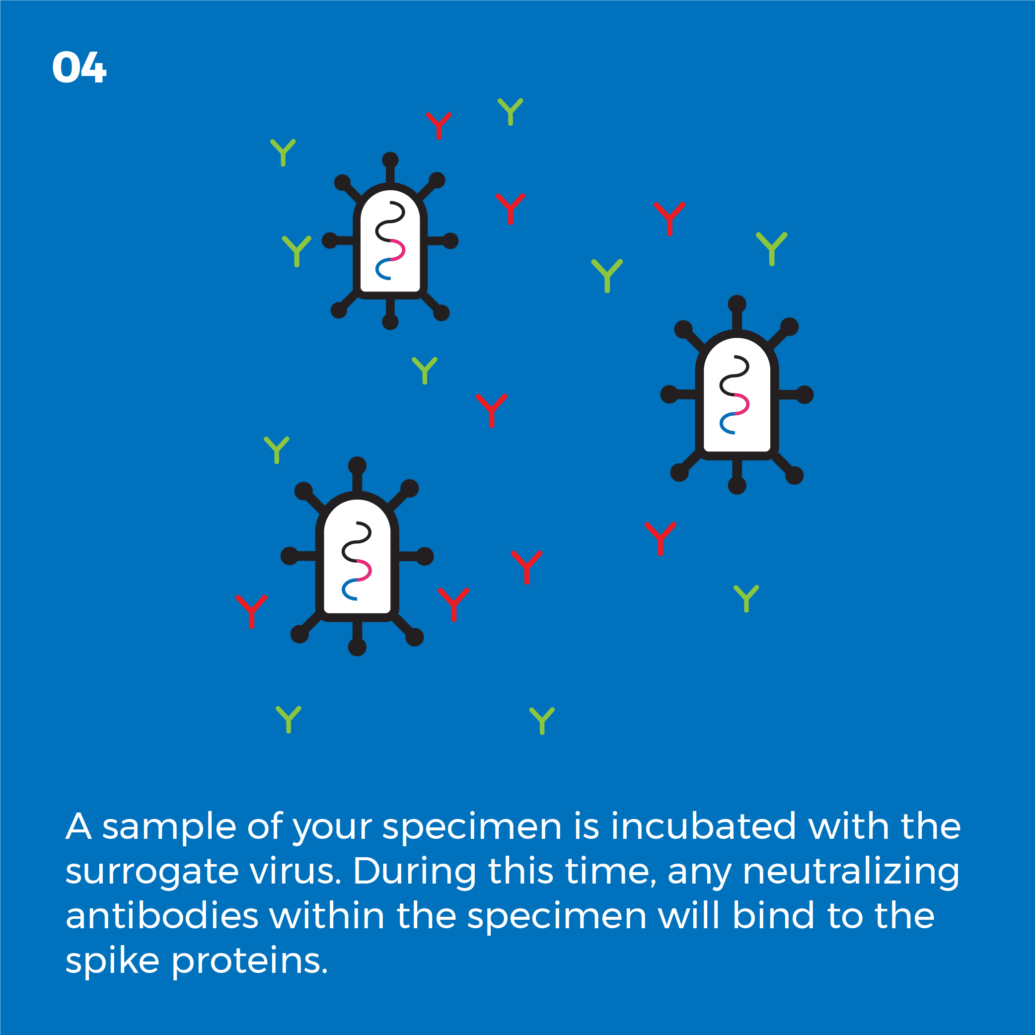 A sample of your specimen is incubated with the surrogate virus. During this time, any neutralizing antibodies within the specimen will bind to the spike proteins.
