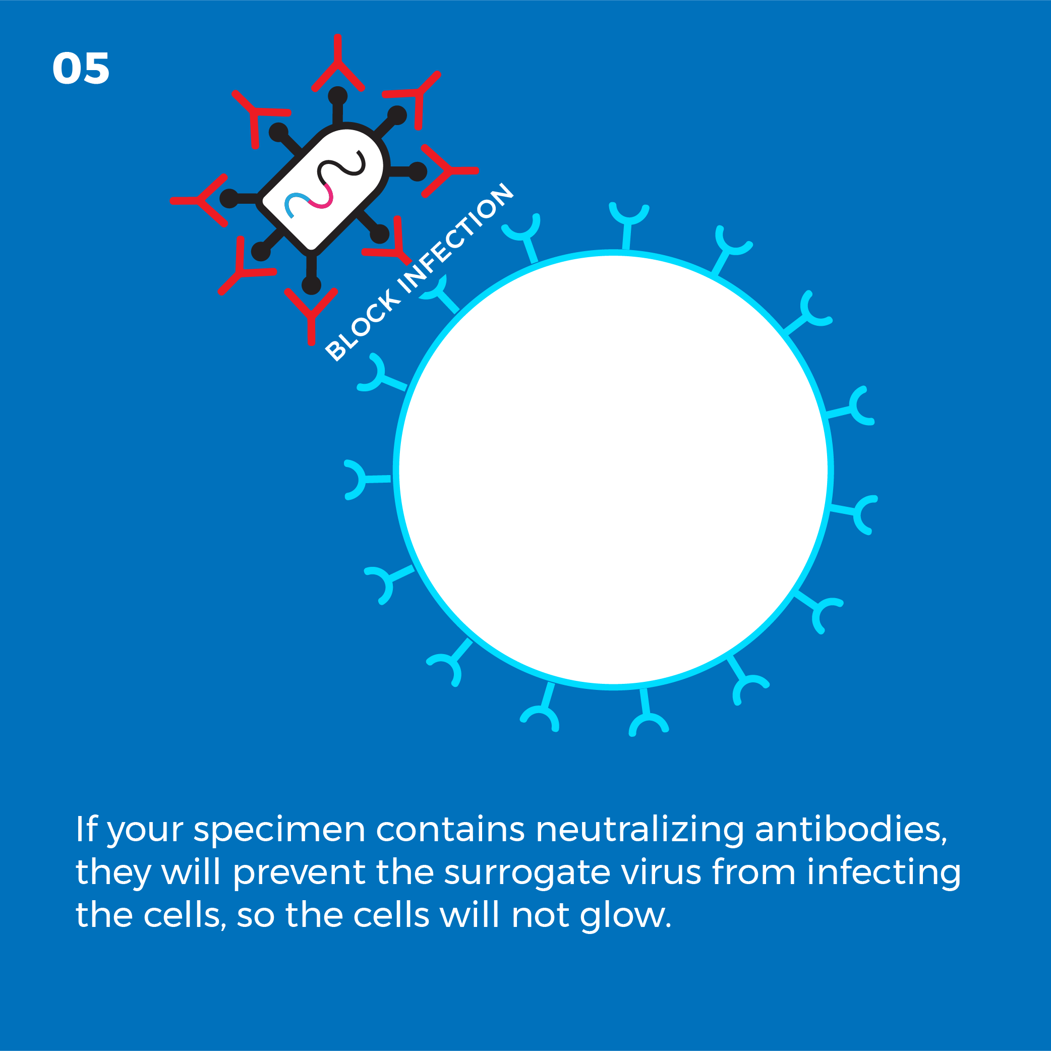 If your specimen contains neutralizing antibodies, they will prevent the surrogate virus from infecting the cells, so the cells will not glow.