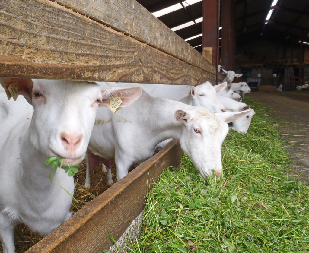 Irish goats in the barn eating fresh organic grass.