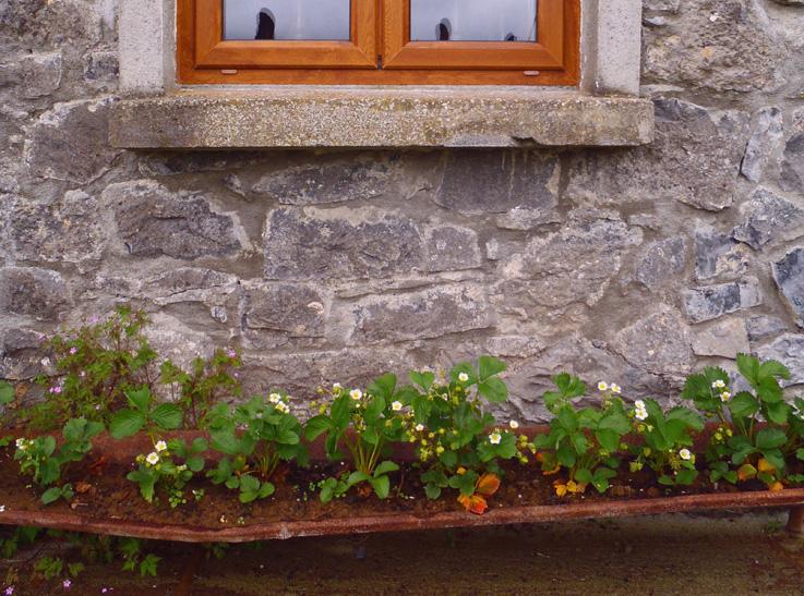 Strawberry Planting Ideas From An Irish Goat Farm