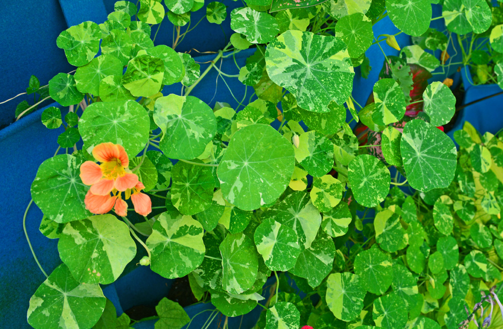 What Really Worked – My Favorite New Plant This Year is a Nasturtium