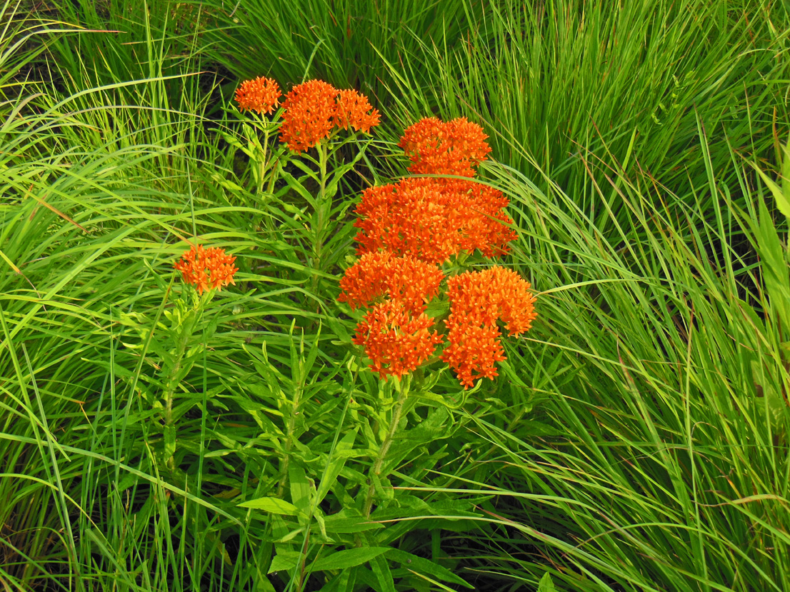 How To Plant a Butterfly Weed Video