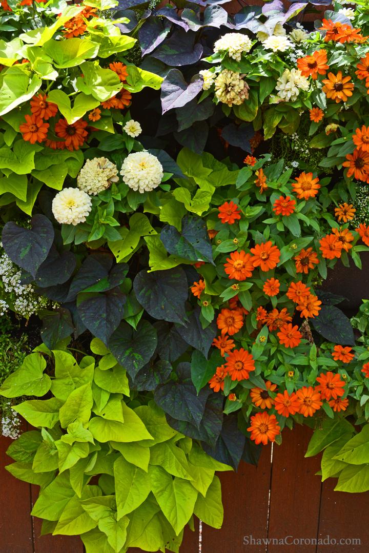 Living Wall with Sweet Potato Vine and Zinnia Closeup © copyrigh