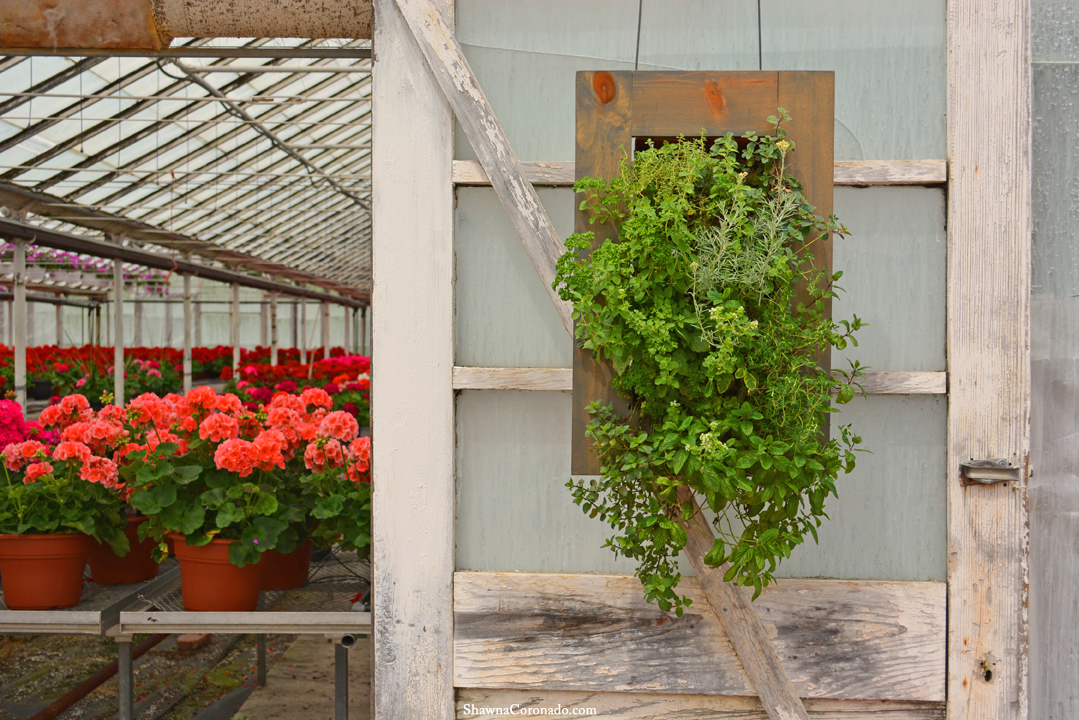 Aromatherapy Living Wall on Door with Herbs and Geraniums Closeup