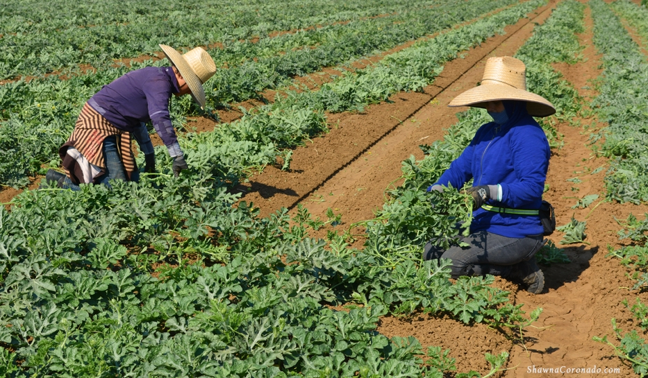 Watermelon Fields and Sunscreen