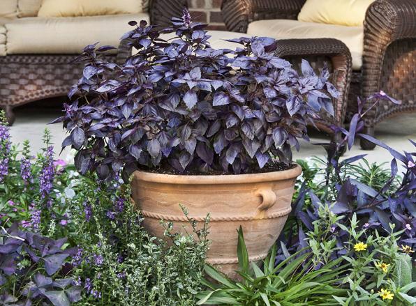 Purple Basil