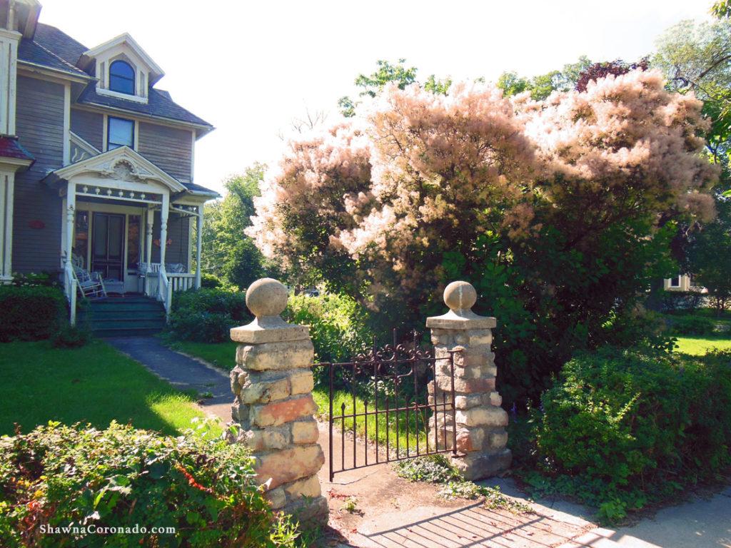 Smoketree Shrub Front Garden
