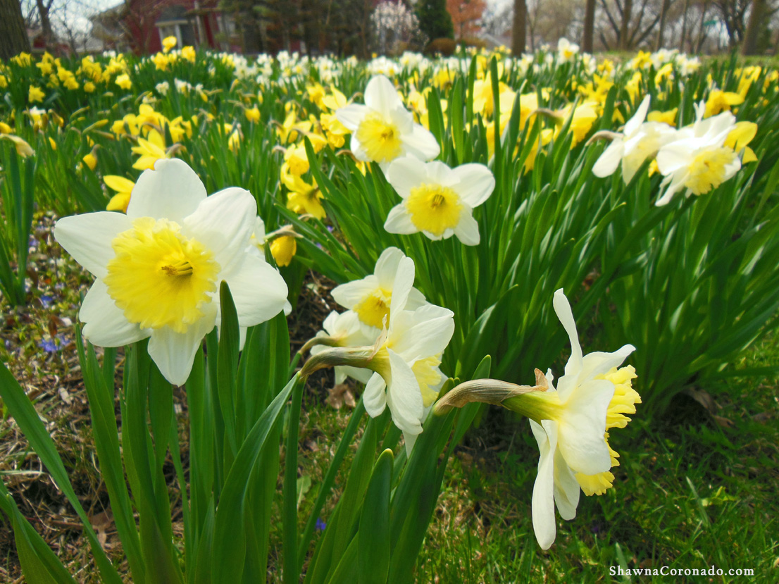 White Daffodil Yellow Cup how to grow