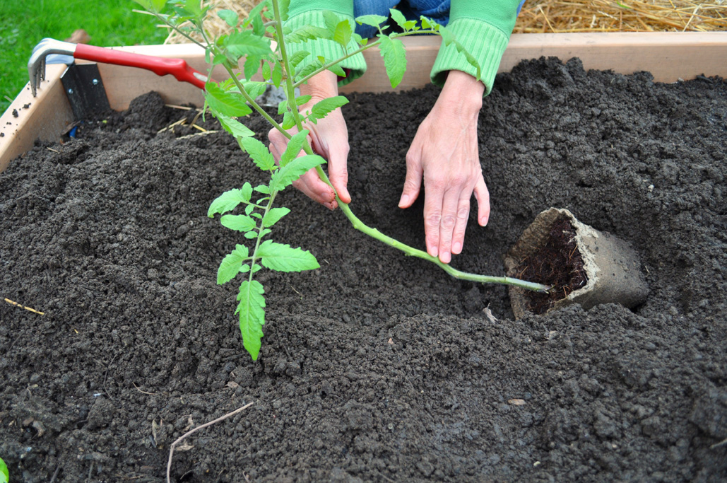 Plant a Tomato with a Trench Technique