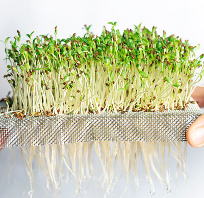 Microgreens – Grow Inside for Food Security