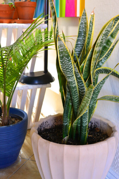 Houseplant Sansevieria mother in law tongue