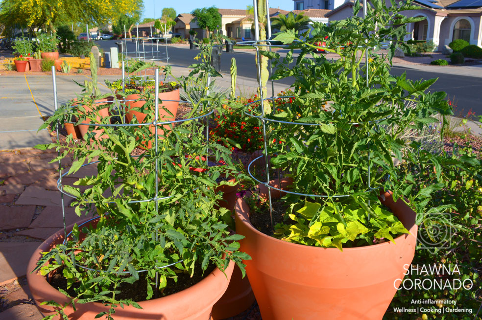 Tomato-Cages-with-tomato-plants