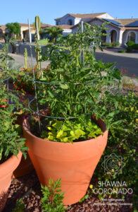 tomato-in-terracotta-pot