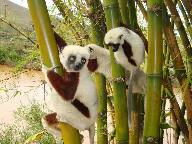 COQUEREL-SIFAKA--Lemur-Park