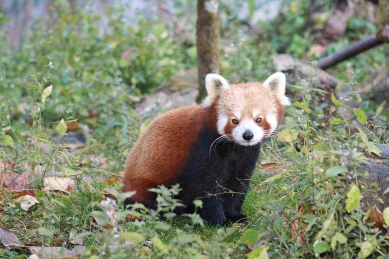 Darjeeling-Zoo-Red-Panda11