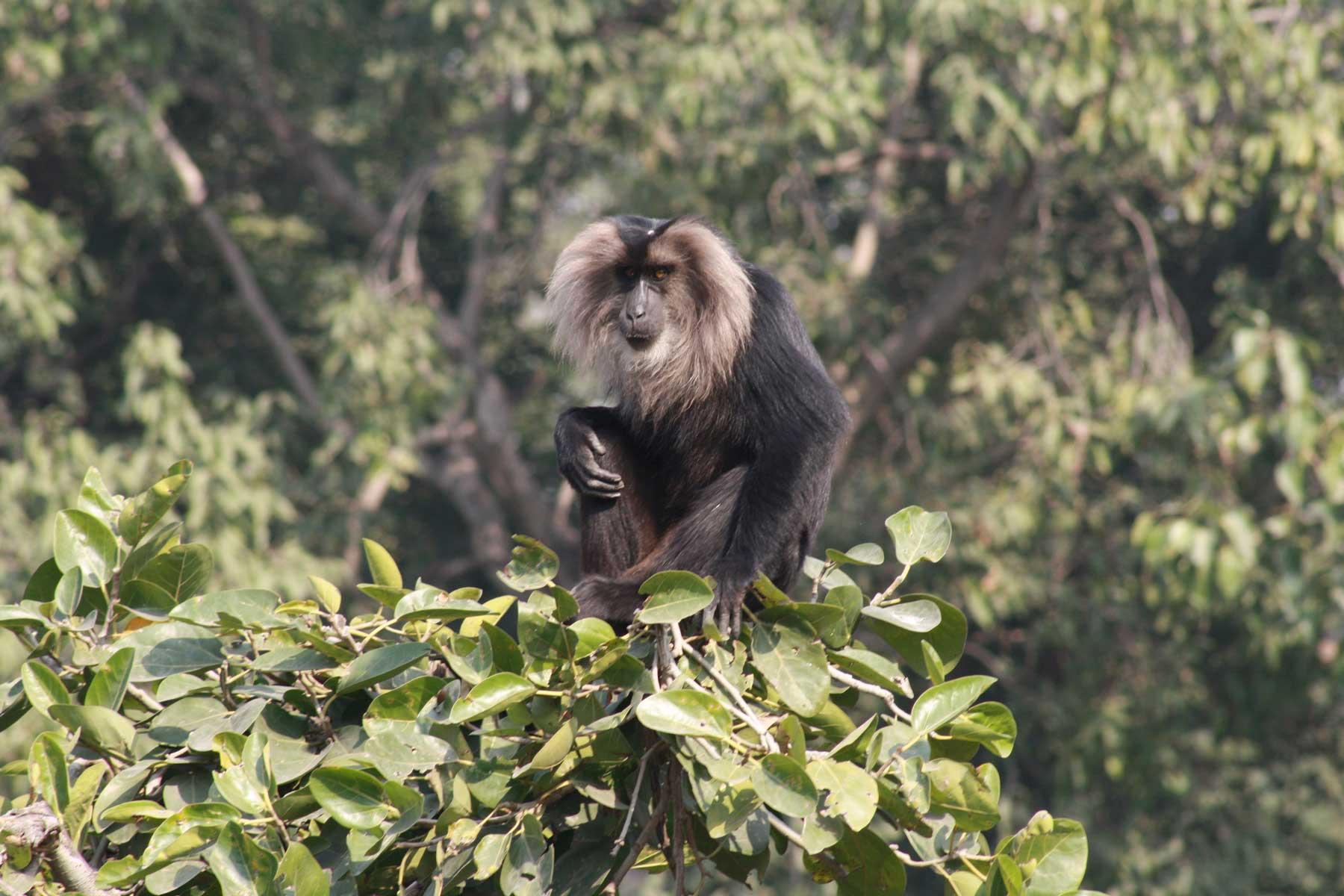 Delhi-National-Zoo-Macaco-Cauda-de-Leão2