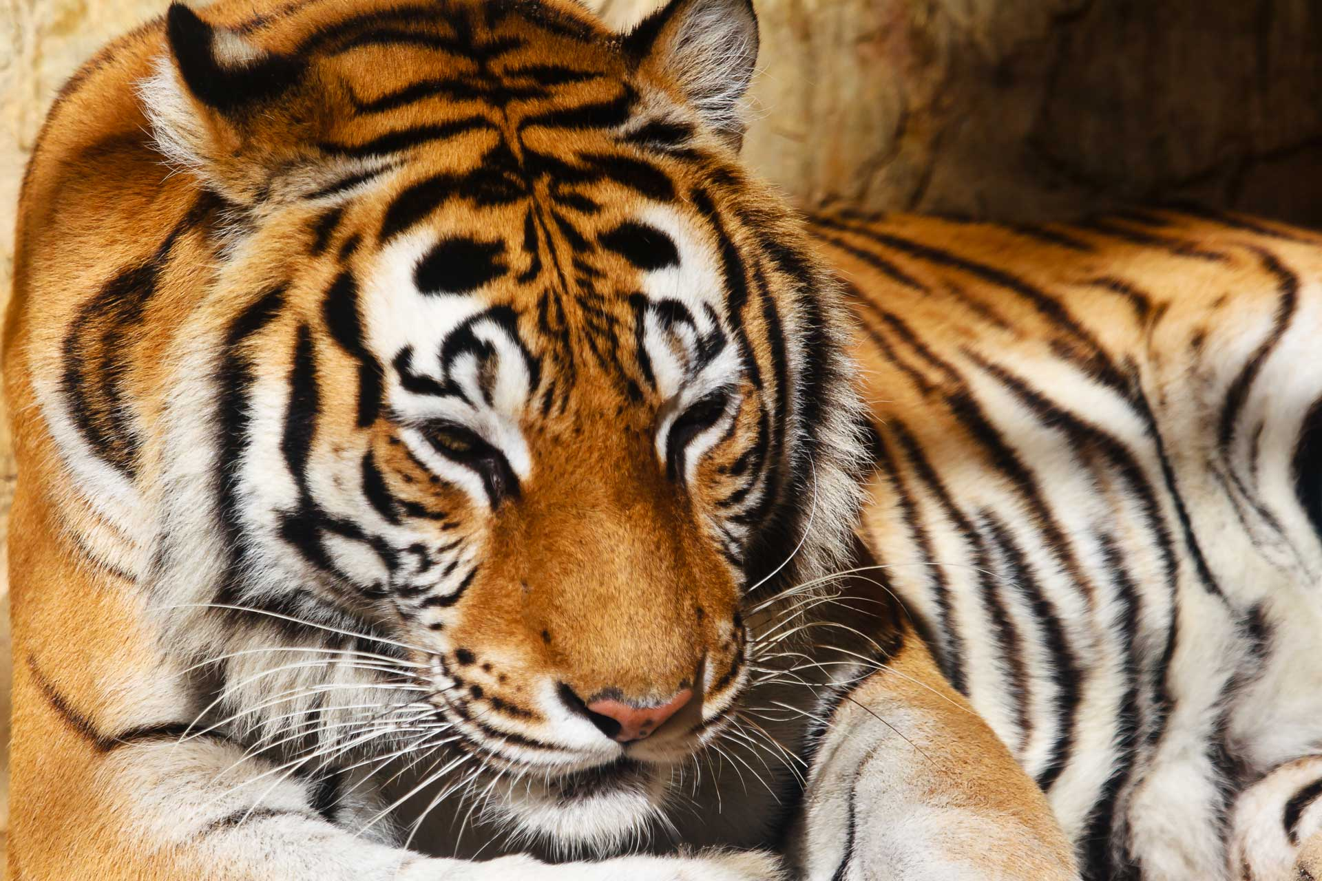 bengal-tiger-P66PJ24.jpg