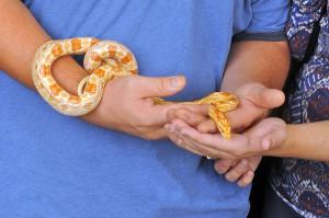 Albino Okeetee Corn Snake