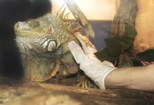 Socializing one of our Iguanas