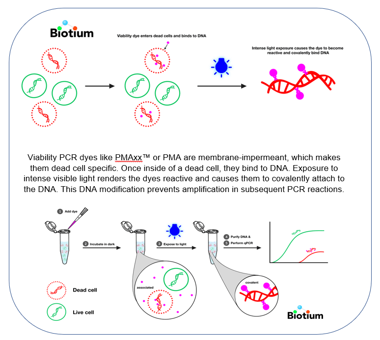 Viability PCR dyes like PMAxx™ or PMA are membrane-impermeant