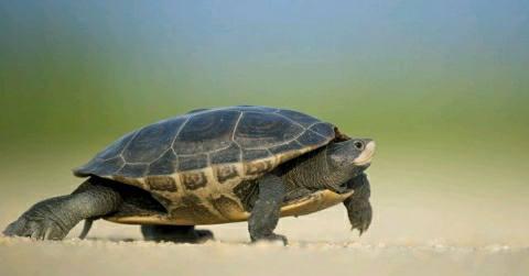 Brahmaputra-Express-Turtles-Animal