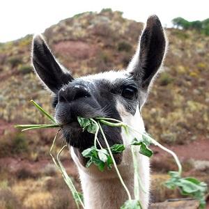 A Llama 1 - New-World Camelids