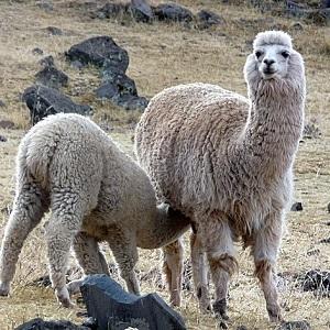 A Llama with a Cria - New-World Camelids