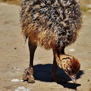A chick - Ostriches