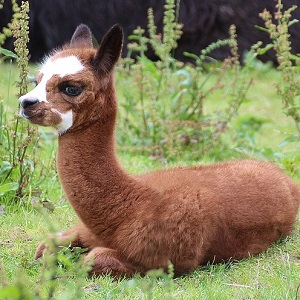A young Alpaca - New-World Camelids