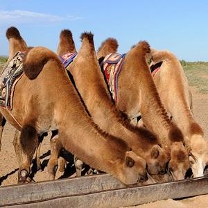 Bactrian Camels - Old-World Camelids