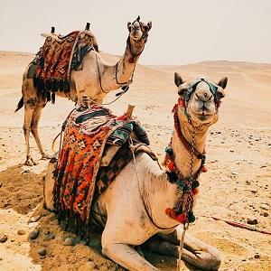 Dromedary Camels - Old-World Camelids