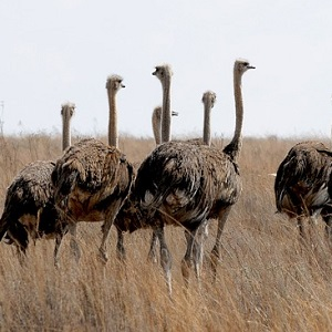 Hens in the wild - Ostriches