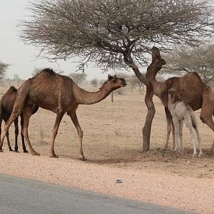 Mother Camels with calves - Old-World Camelids