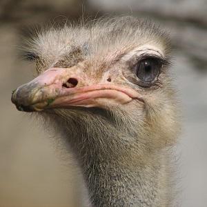 Ostrichshead - Ostriches