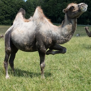 The Bactrian Camel - Old-World Camelids